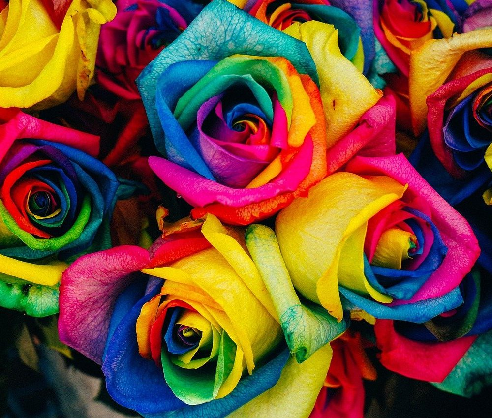 rainbow colored roses